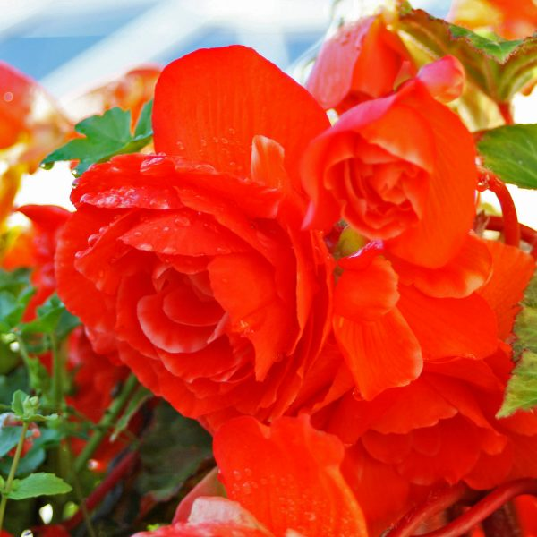 blooming-baskets-hanging-baskets-flowers-red-flowers