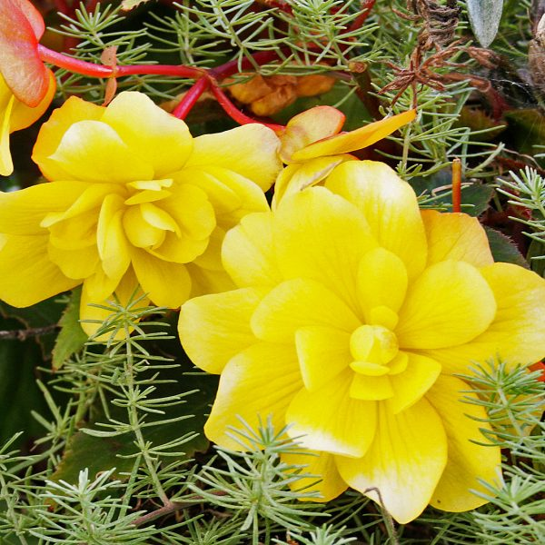 blooming-baskets-hanging-baskets-flowers-yellow-flowers