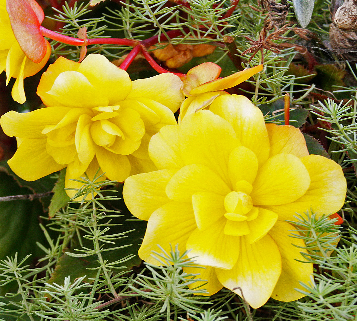 Yellow Blooming Baskets