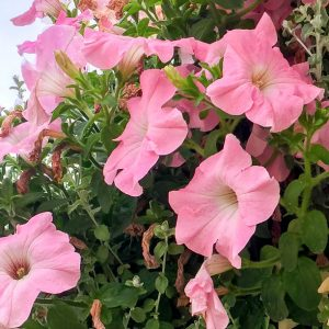 blooming-hanging-basket-pink
