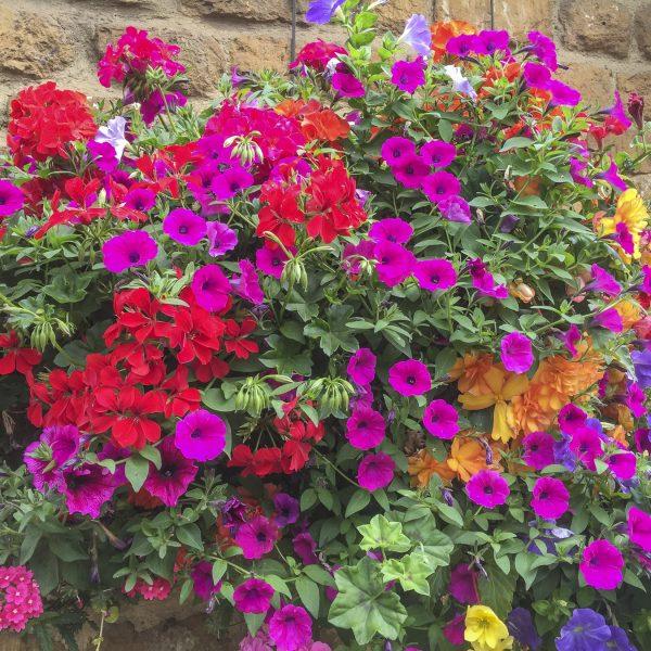 blooming-hanging-baskets027_1