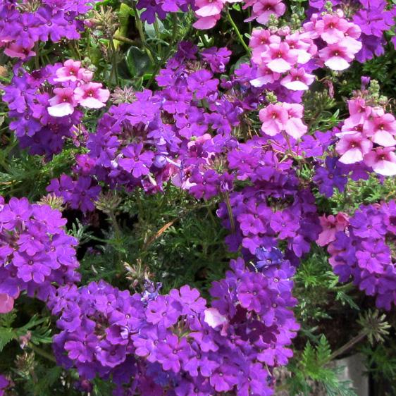 Purple Blooming Baskets